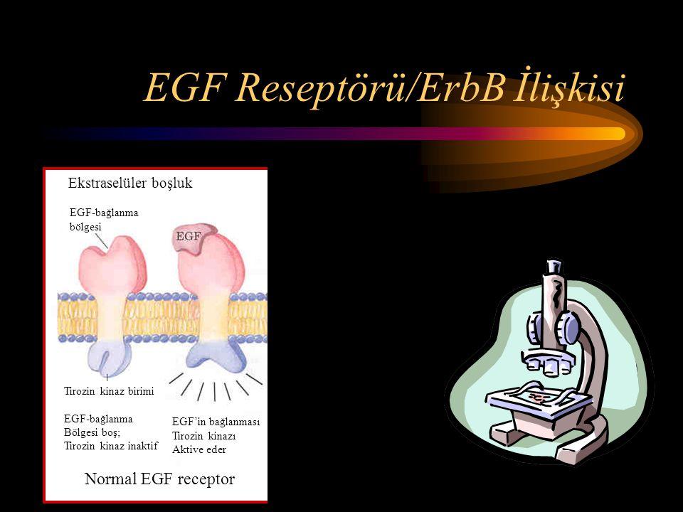 EGF Reseptörü/ErbB İlişkisi