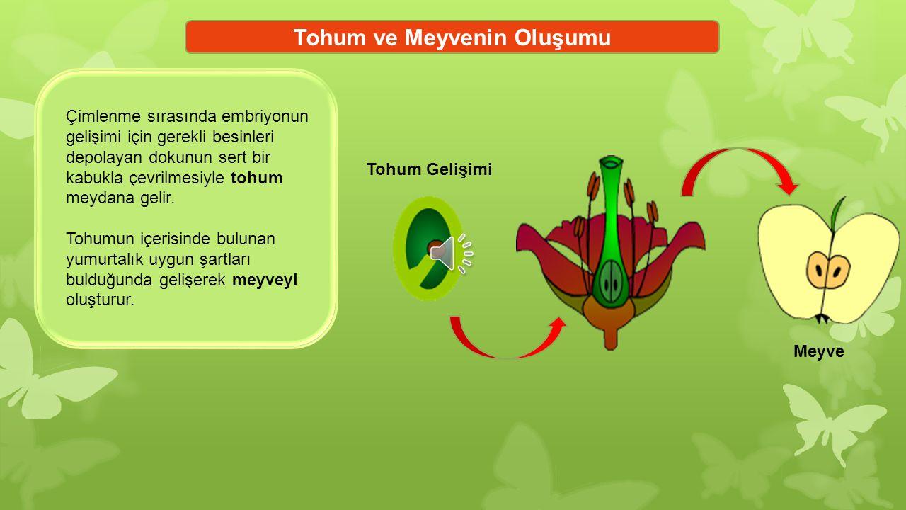 Tohum ve Meyvenin Oluşumu