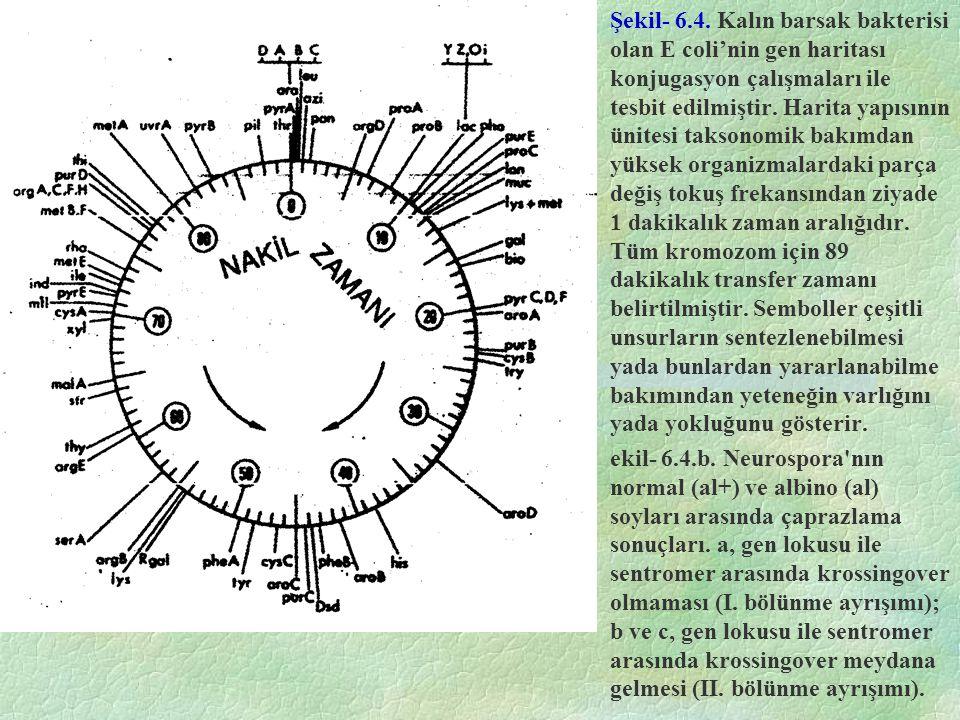 Şekil- 6.4. Kalın barsak bakterisi olan E coli'nin gen haritası konjugasyon çalışmaları ile tesbit edilmiştir. Harita yapısının ünitesi taksonomik bakımdan yüksek organizmalardaki parça değiş tokuş frekansından ziyade 1 dakikalık zaman aralığıdır. Tüm kromozom için 89 dakikalık transfer zamanı belirtilmiştir. Semboller çeşitli unsurların sentezlenebilmesi yada bunlardan yararlanabilme bakımından yeteneğin varlığını yada yokluğunu gösterir.