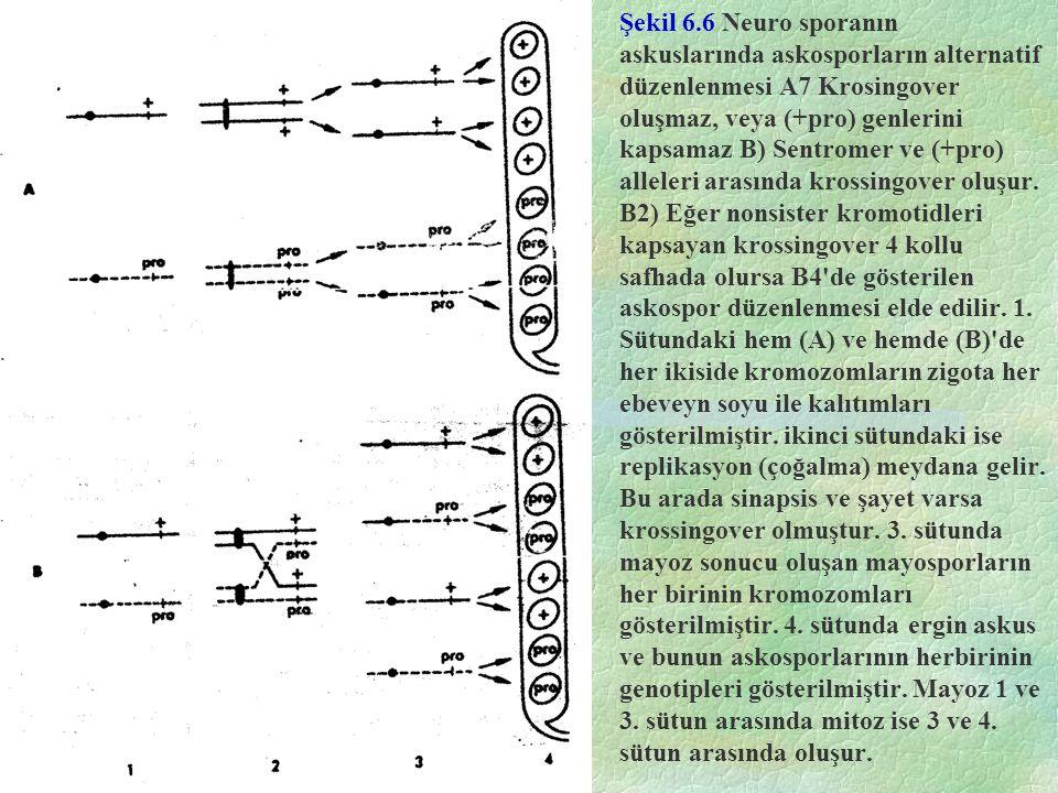 Şekil 6.6 Neuro sporanın askuslarında askosporların alternatif düzenlenmesi A7 Krosingover oluşmaz, veya (+pro) genlerini kapsamaz B) Sentromer ve (+pro) alleleri arasında krossingover oluşur.