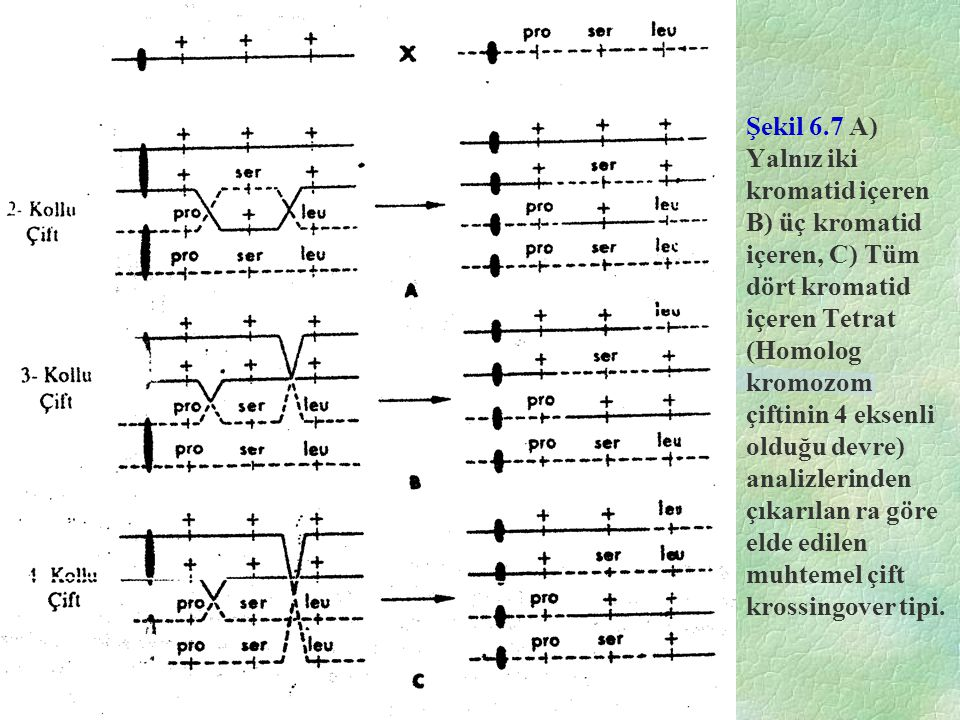 Şekil 6.7 A) Yalnız iki kromatid içeren B) üç kromatid içeren, C) Tüm dört kromatid içeren Tetrat (Homolog kromozom çiftinin 4 eksenli olduğu devre) analizlerinden çıkarılan ra göre elde edilen muhtemel çift krossingover tipi.