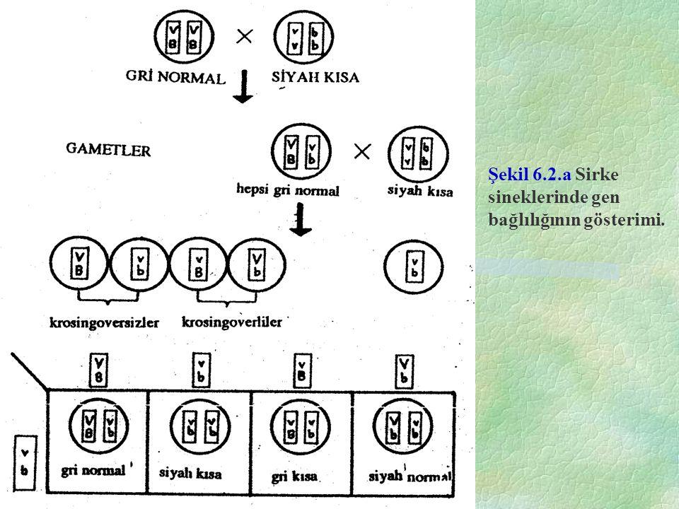Şekil 6.2.a Sirke sineklerinde gen bağlılığının gösterimi.