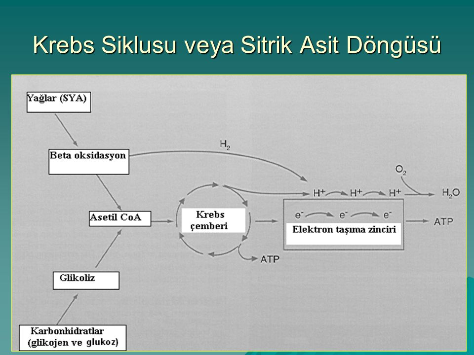 Krebs Siklusu veya Sitrik Asit Döngüsü