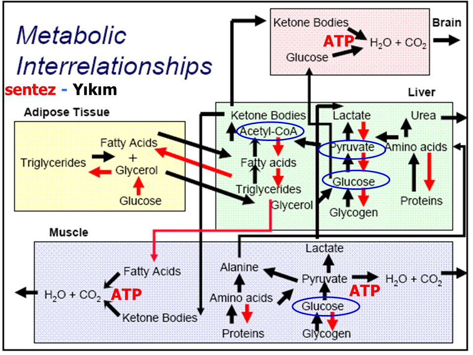 ATP sentez - Yıkım ATP ATP