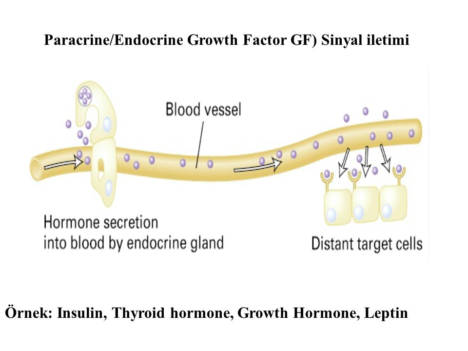 Paracrine/Endocrine Growth Factor GF) Sinyal iletimi
