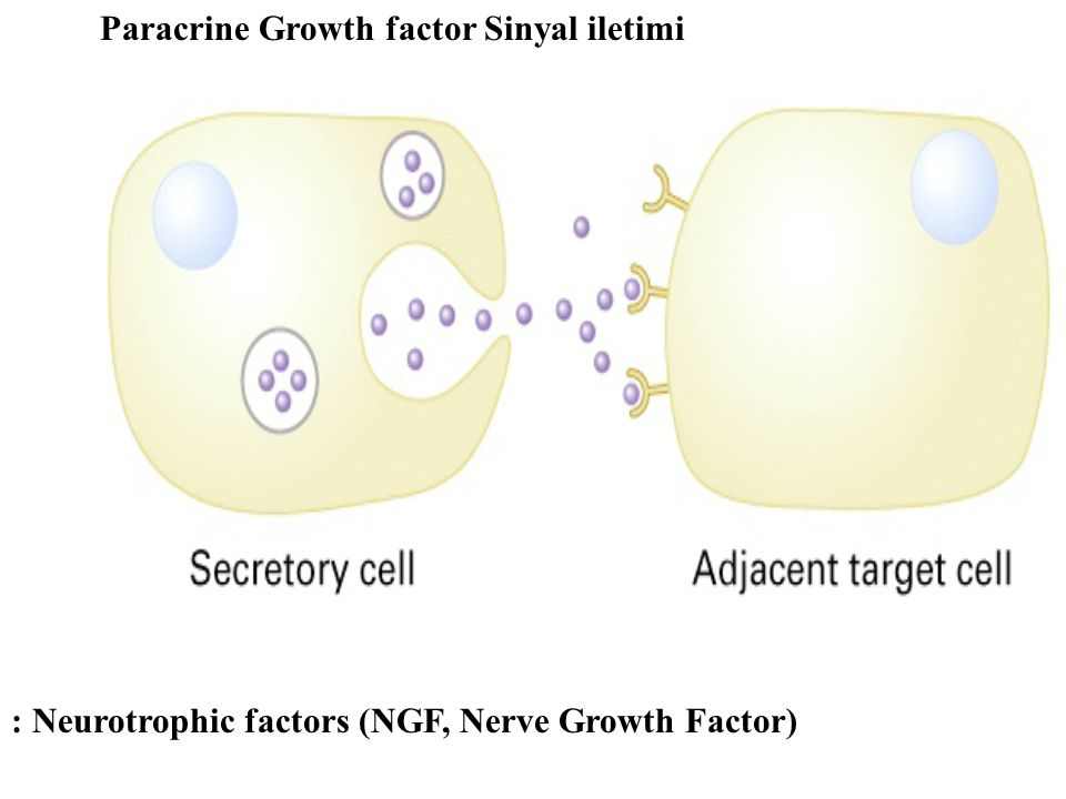 Paracrine Growth factor Sinyal iletimi