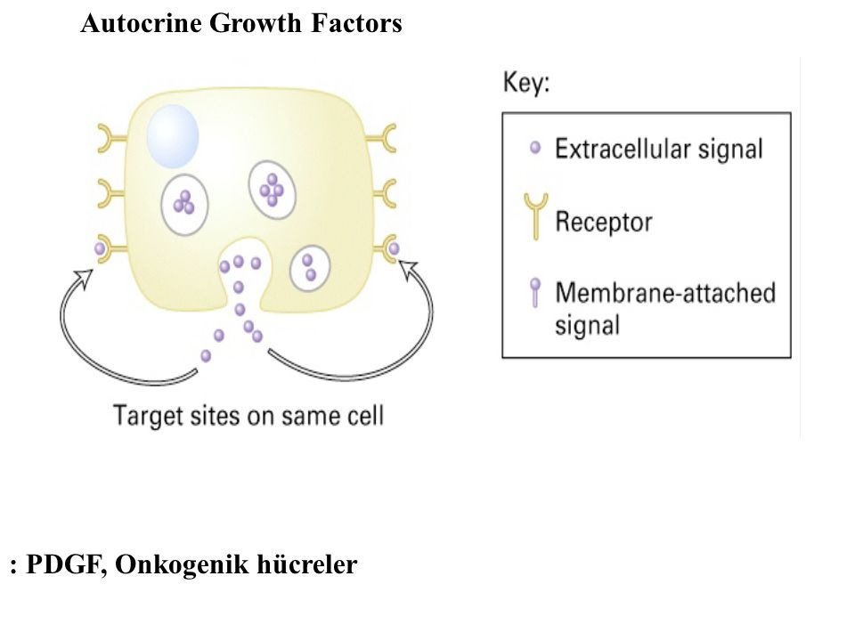 Autocrine Growth Factors