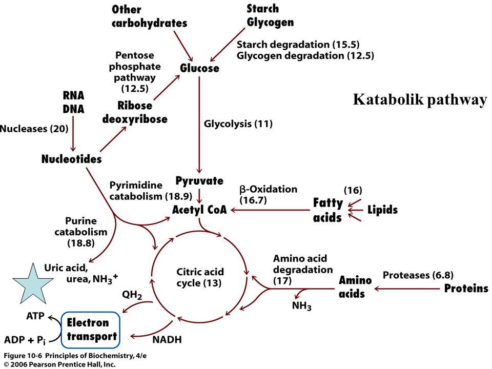 Katabolik pathway Figure 10.6