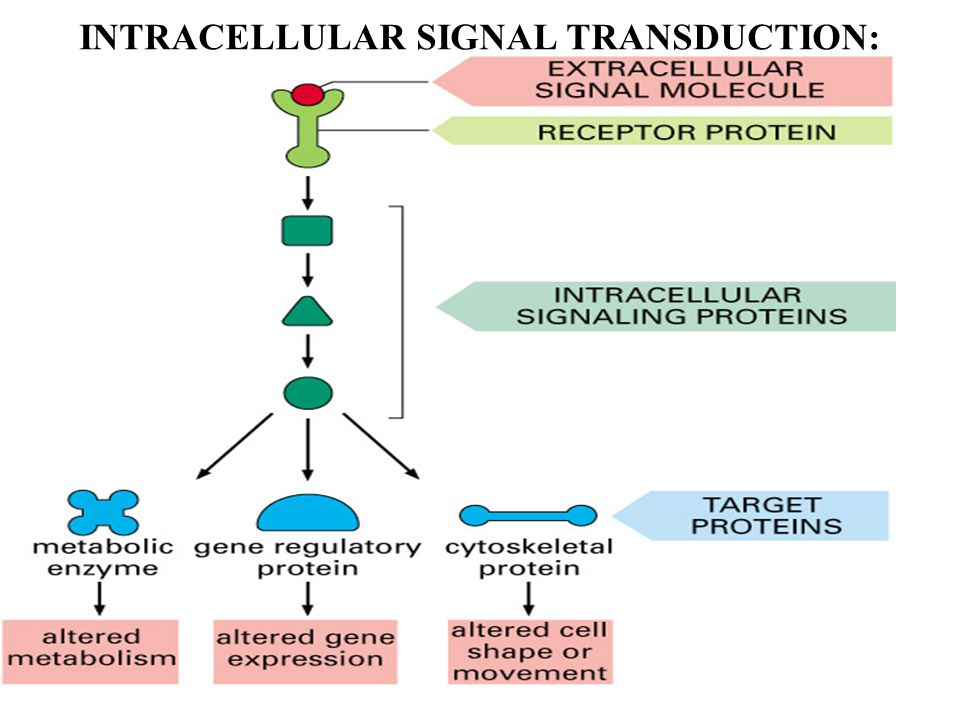 INTRACELLULAR SIGNAL TRANSDUCTION: