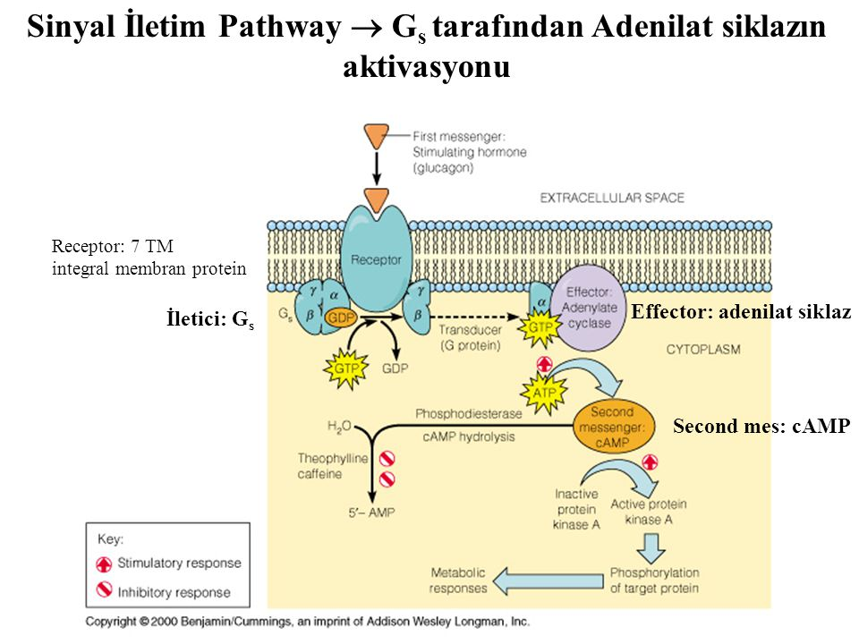 Sinyal İletim Pathway  Gs tarafından Adenilat siklazın aktivasyonu