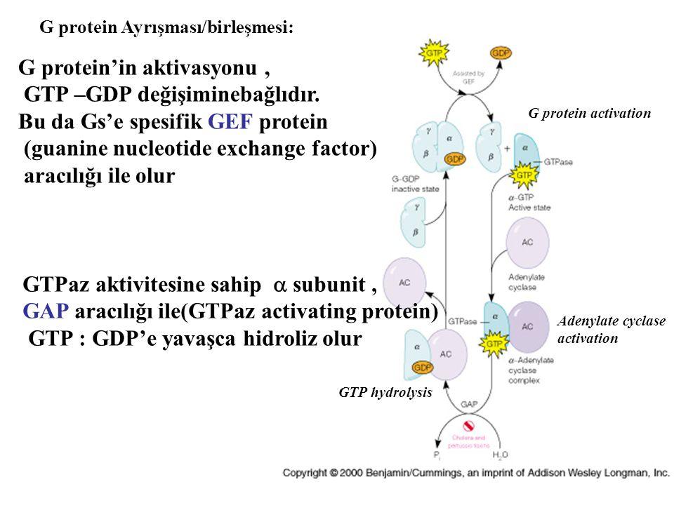 G protein'in aktivasyonu , GTP –GDP değişiminebağlıdır.