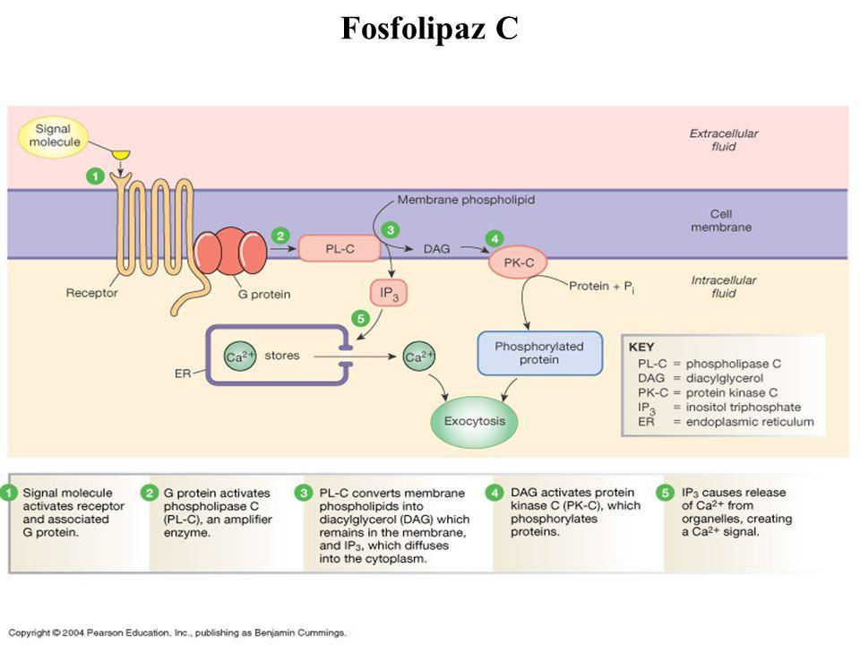 Fosfolipaz C