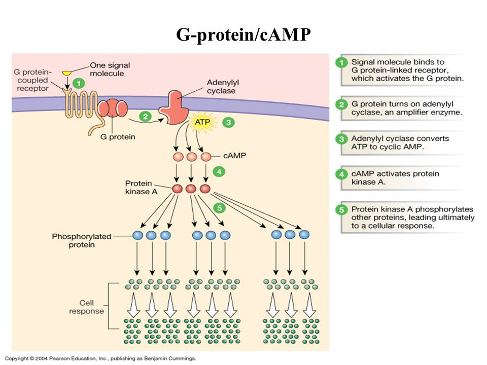 G-protein/cAMP