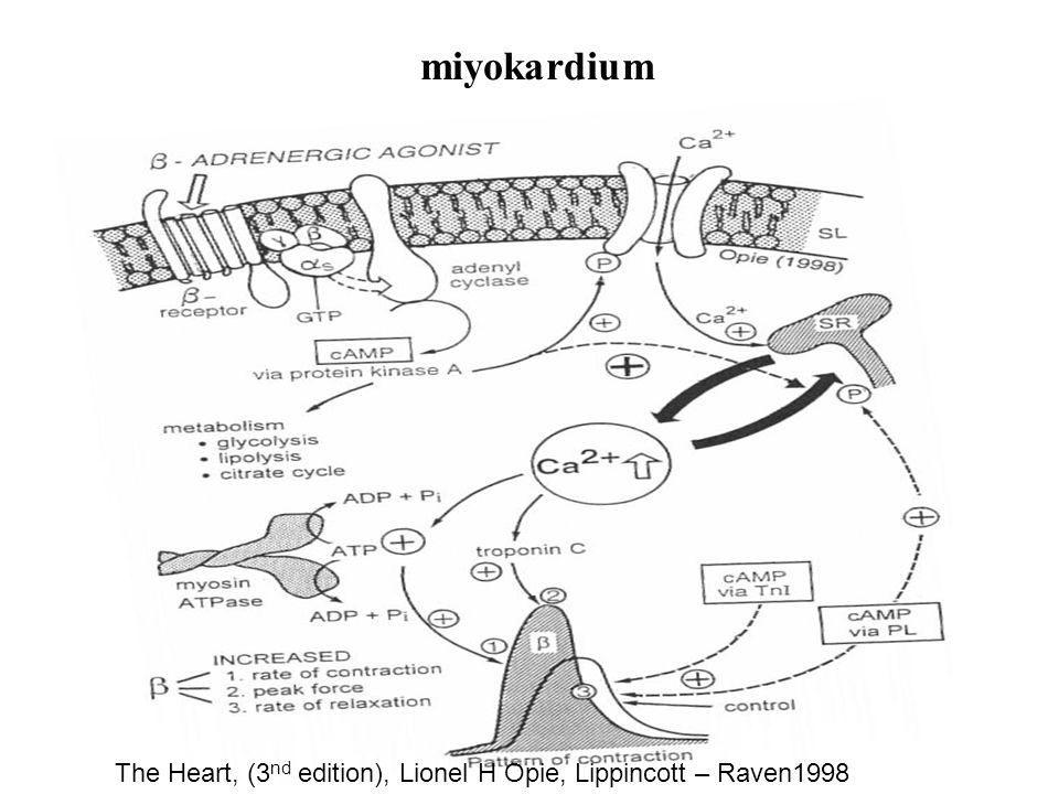 miyokardium The Heart, (3nd edition), Lionel H Opie, Lippincott – Raven1998