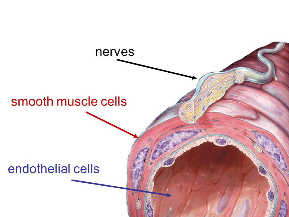 nerves smooth muscle cells endothelial cells
