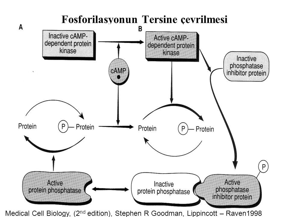 Fosforilasyonun Tersine çevrilmesi