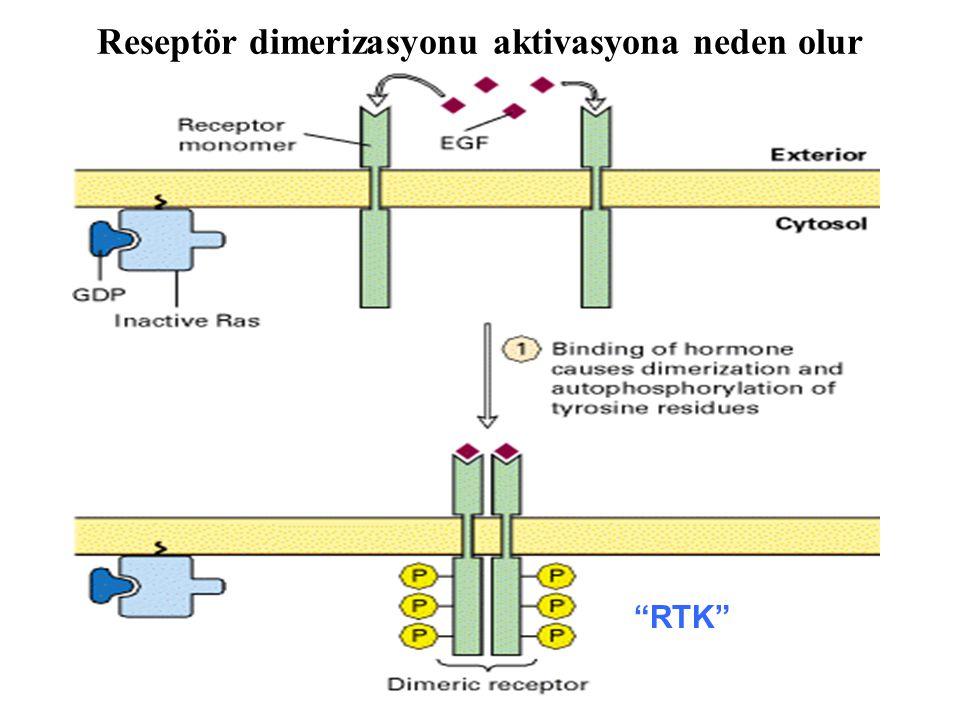 Reseptör dimerizasyonu aktivasyona neden olur