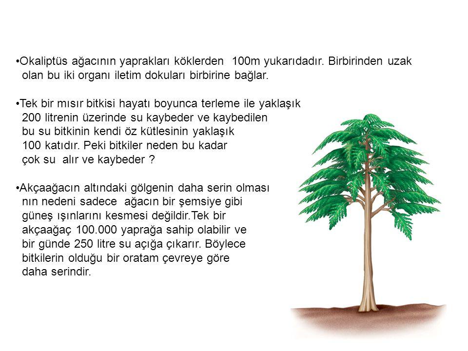 Okaliptüs ağacının yaprakları köklerden 100m yukarıdadır