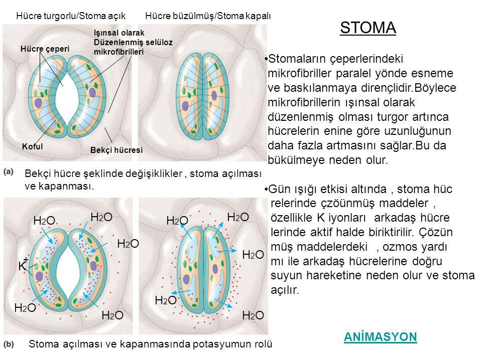 STOMA Stomaların çeperlerindeki mikrofibriller paralel yönde esneme