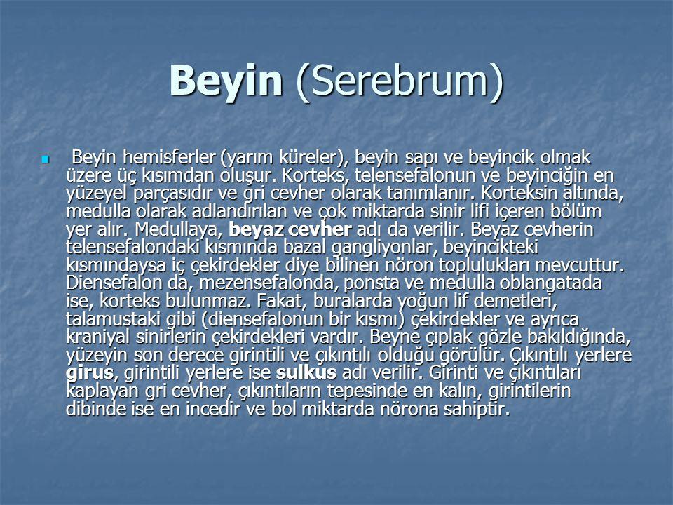 Beyin (Serebrum)