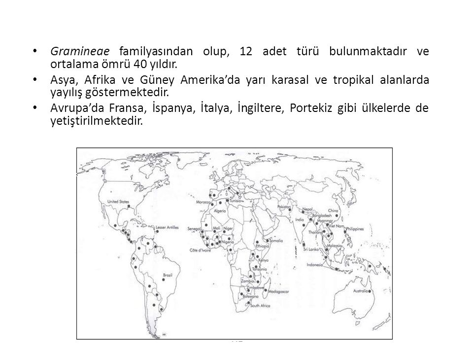 Gramineae familyasından olup, 12 adet türü bulunmaktadır ve ortalama ömrü 40 yıldır.