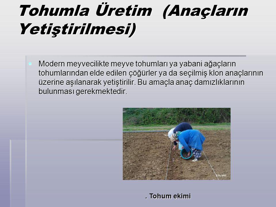 Tohumla Üretim (Anaçların Yetiştirilmesi)