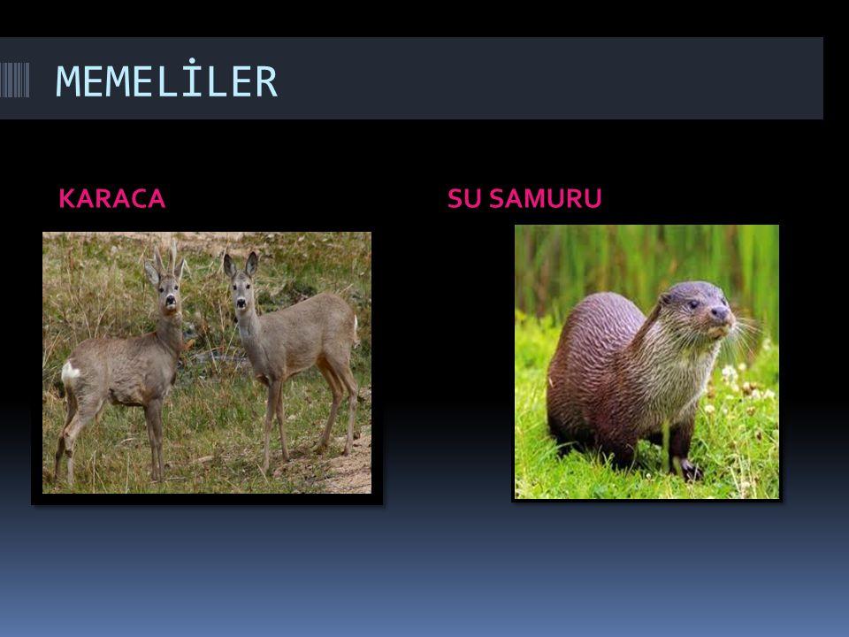 MEMELİLER KARACA SU SAMURU
