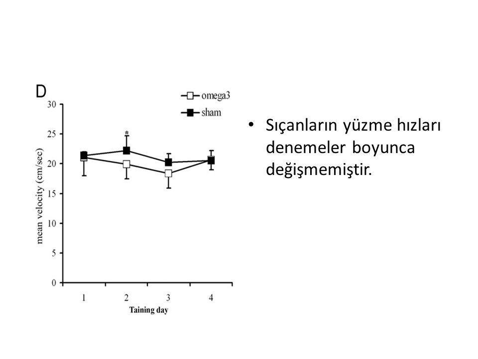 Sıçanların yüzme hızları denemeler boyunca değişmemiştir.