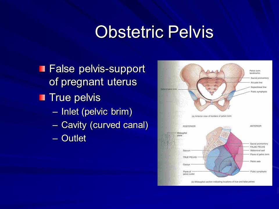 Obstetric Pelvis False pelvis-support of pregnant uterus True pelvis