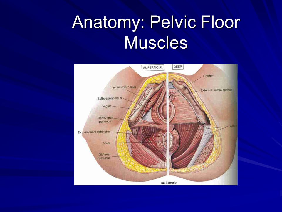 Pelvic Floor Muscles Anatomy Of Pelvic Floor Muscles