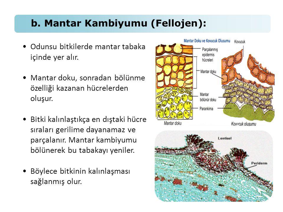 b. Mantar Kambiyumu (Fellojen):