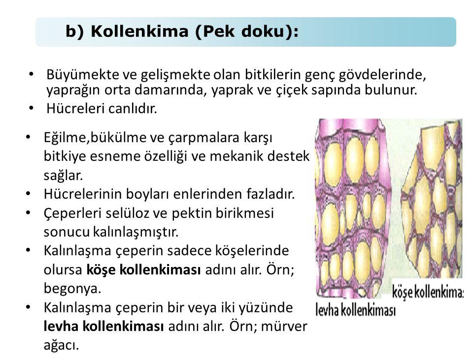 b) Kollenkima (Pek doku):