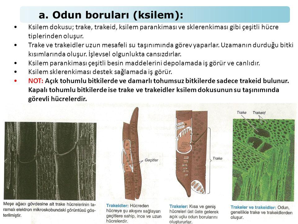 a. Odun boruları (ksilem):