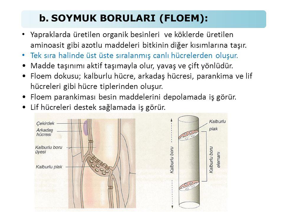 b. SOYMUK BORULARI (FLOEM):