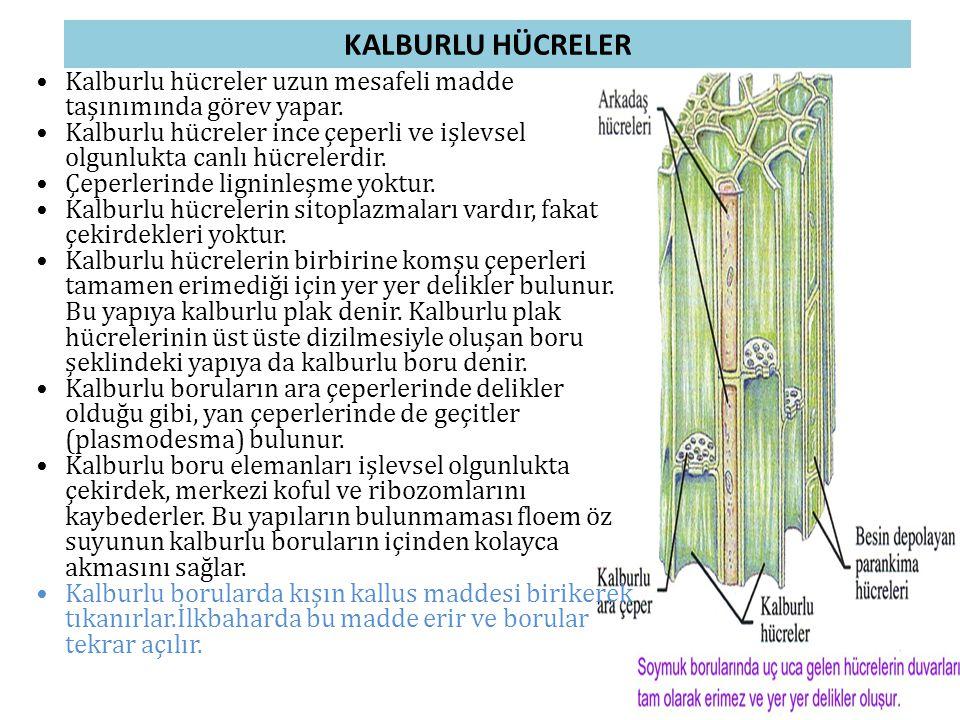 KALBURLU HÜCRELER Kalburlu hücreler uzun mesafeli madde taşınımında görev yapar.
