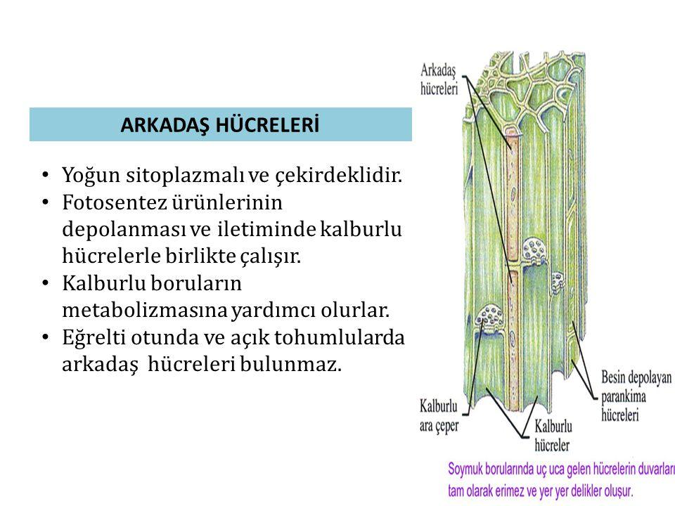 ARKADAŞ HÜCRELERİ Yoğun sitoplazmalı ve çekirdeklidir. Fotosentez ürünlerinin depolanması ve iletiminde kalburlu hücrelerle birlikte çalışır.
