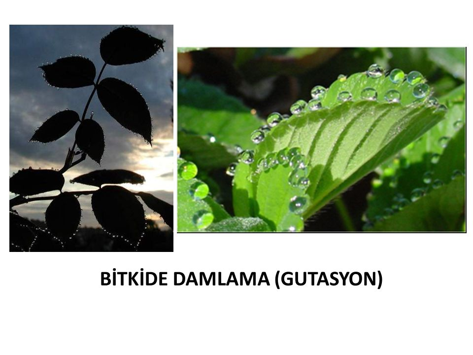 BİTKİDE DAMLAMA (GUTASYON)