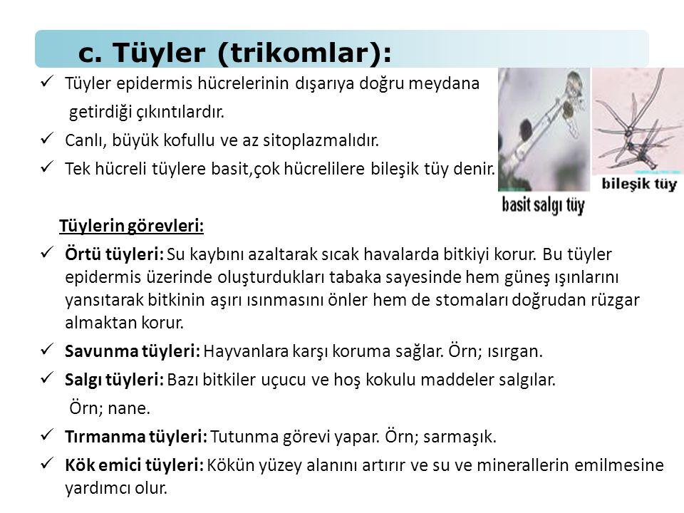 c. Tüyler (trikomlar): Tüyler epidermis hücrelerinin dışarıya doğru meydana. getirdiği çıkıntılardır.