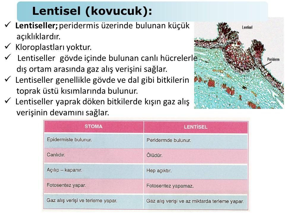 Lentisel (kovucuk): Lentiseller; peridermis üzerinde bulunan küçük