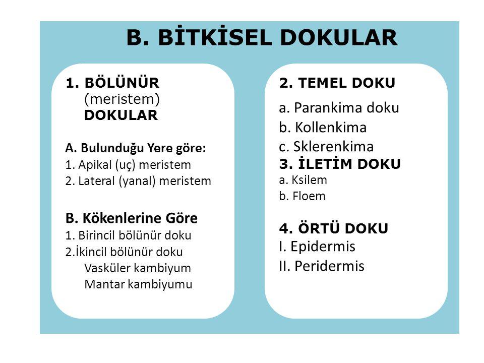B. BİTKİSEL DOKULAR a. Parankima doku b. Kollenkima c. Sklerenkima