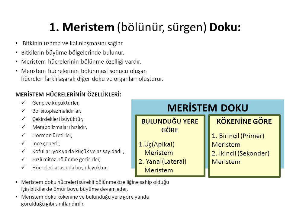 1. Meristem (bölünür, sürgen) Doku: