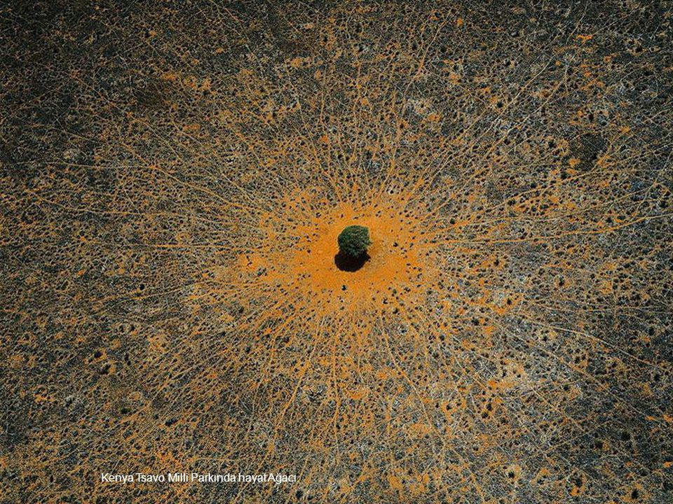Kenya Tsavo Milli Parkında hayat Ağacı.