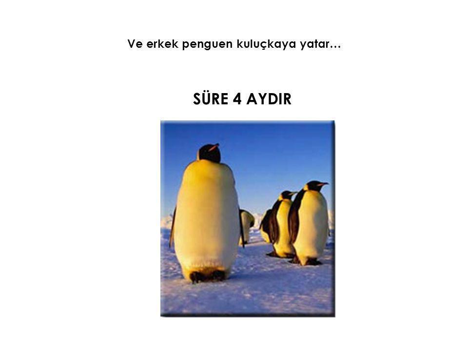 Ve erkek penguen kuluçkaya yatar…