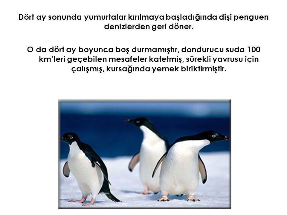 Dört ay sonunda yumurtalar kırılmaya başladığında dişi penguen denizlerden geri döner.
