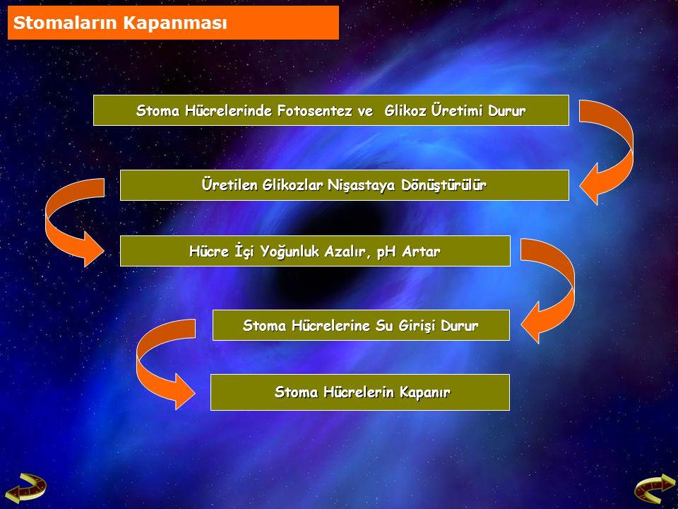 Stomaların Kapanması Stoma Hücrelerinde Fotosentez ve Glikoz Üretimi Durur. Üretilen Glikozlar Nişastaya Dönüştürülür.