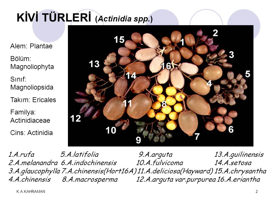 KİVİ TÜRLERİ (Actinidia spp.)