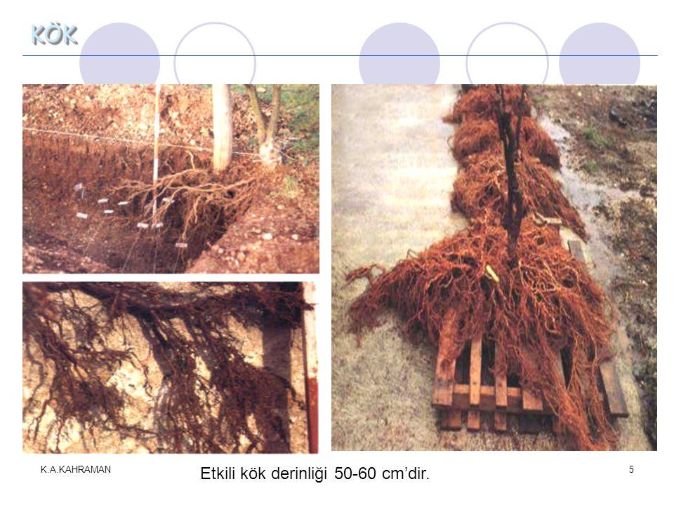 KÖK K.A.KAHRAMAN Etkili kök derinliği 50-60 cm'dir.