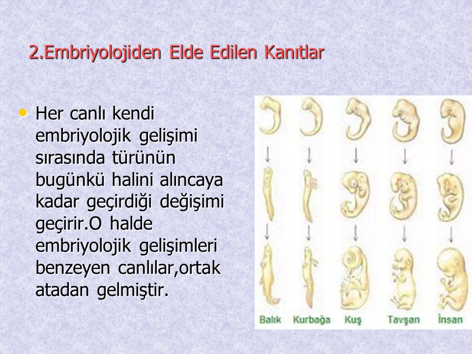 2.Embriyolojiden Elde Edilen Kanıtlar