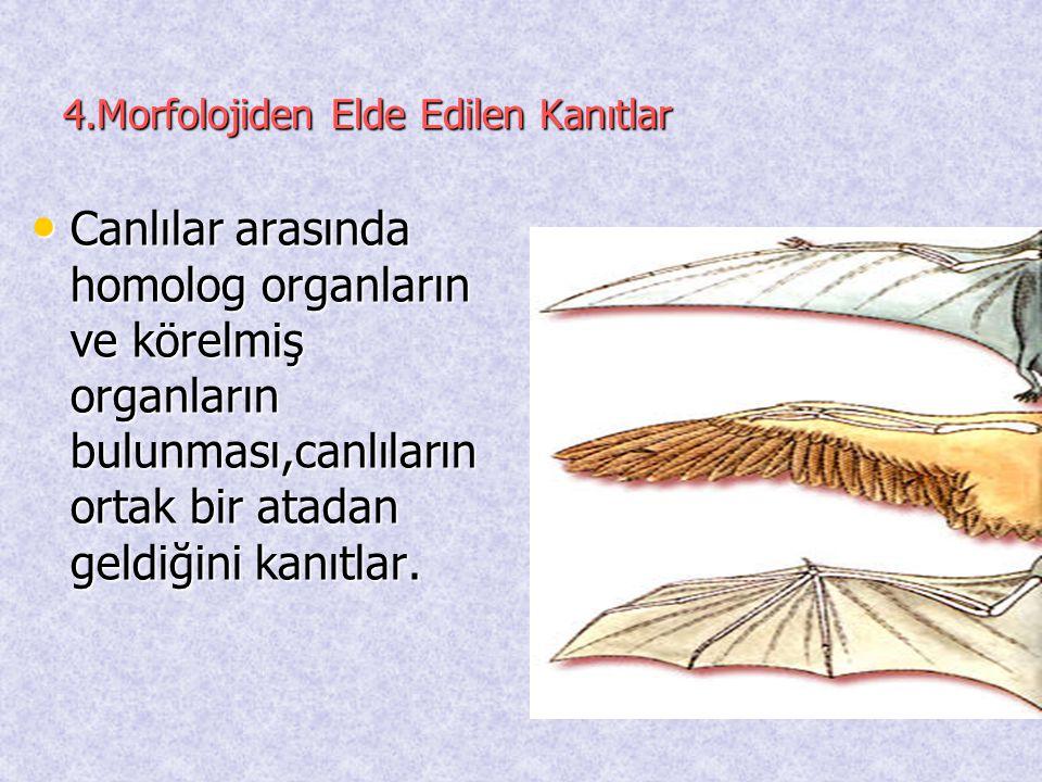 4.Morfolojiden Elde Edilen Kanıtlar
