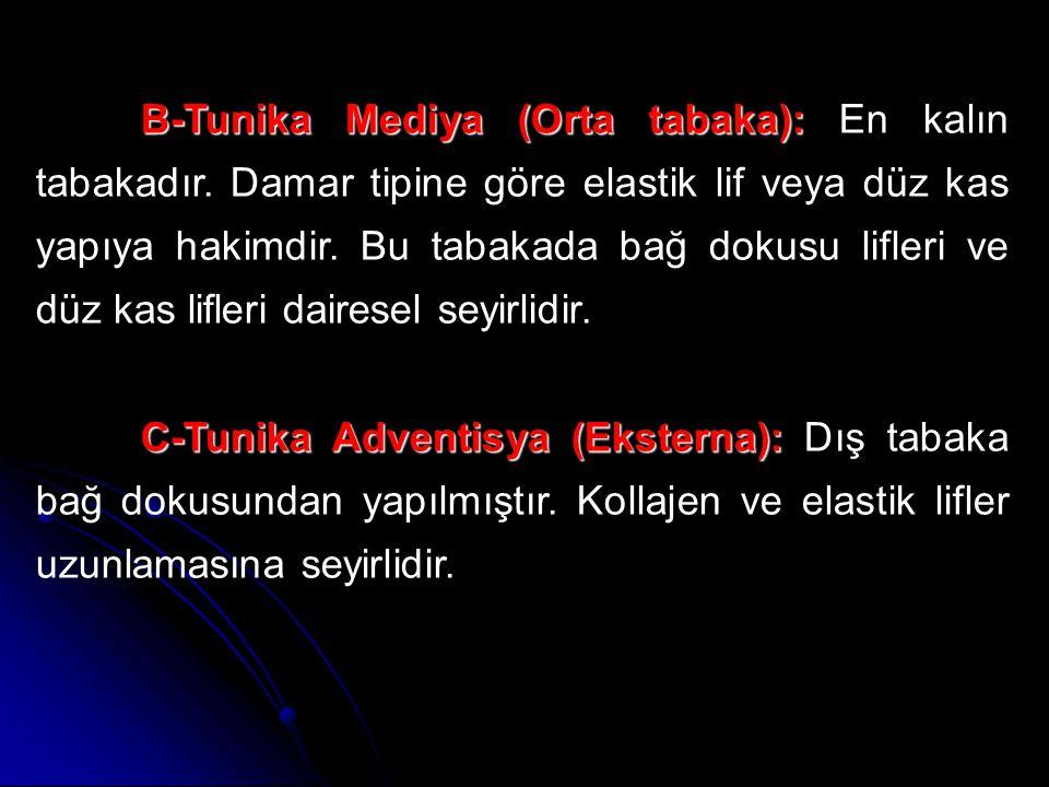 B-Tunika Mediya (Orta tabaka): En kalın tabakadır
